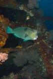 Bumphead parrotfish stock photos