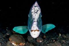 Bumphead parrotfish zakończenie w górę portreta podwodnego szczegółu Zdjęcia Royalty Free