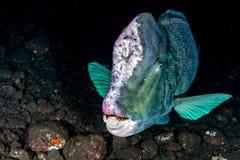 Bumphead parrotfish zakończenie w górę portreta podwodnego szczegółu Fotografia Royalty Free
