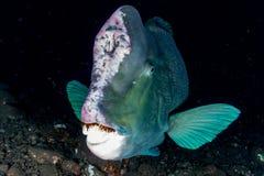 Bumphead parrotfishslut upp den undervattens- detaljen för stående Royaltyfria Foton