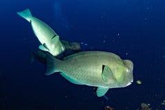 Bumphead parrotfishslut upp den undervattens- detaljen för stående Royaltyfria Bilder