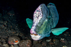 Bumphead parrotfishslut upp den undervattens- detaljen för stående Royaltyfri Fotografi