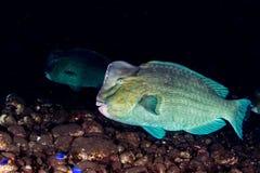 Bumphead parrotfishslut upp den undervattens- detaljen för stående Arkivbilder