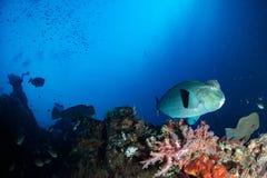 Bumphead parrotfishslut upp den undervattens- detaljen för stående Royaltyfri Bild