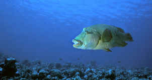 Bumphead Wrasse. Off of Felidu Atoll in the Maldive Islands Royalty Free Stock Photos