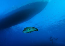 Bumphead wrasse under dive boat Stock Image