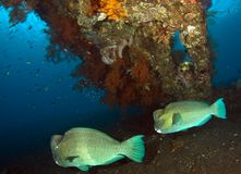 bumpheadparrotfish Arkivfoto