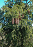 Bumps. Big bunch of spruce cones on the tree Stock Photography