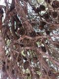 Bumps. Brown cones on coniferous tree pine Stock Photos
