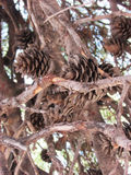 Bumps. Brown cones on coniferous tree pine Royalty Free Stock Photos