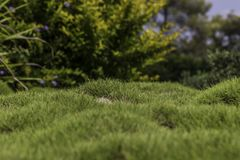 Bumpy green grass with bushes. Bumpy green zoysia creeping grass leaves with lush blurred bushes on background closeup Stock Images