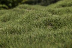Bumpy green grass. Bumpy green zoysia creeping grass leaves background closeup Royalty Free Stock Images