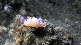 Bumpy mexichromis Mexichromis multituberculata nudibranch stock video
