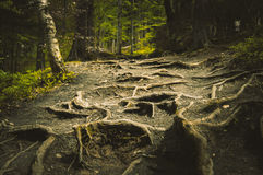 Bumpy path full of roots Royalty Free Stock Image