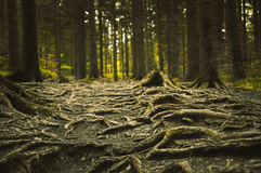 Bumpy path full of roots. In mystical forest Royalty Free Stock Image