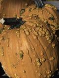 Bumpy pumpkins. Orange pumpkins with a bumpy texture Royalty Free Stock Image