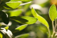 Bumpy Sage Leaf. The bumpy texture of a green sage leaf glows in the sun of a summer afternoon stock photo