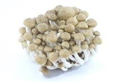 Buna shimeji mushroom Stock Images