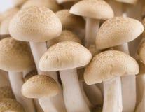 Buna Shimeji Mushroom Stock Photos