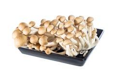 Buna shimeji mushroom Stock Photography
