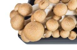 Buna shimeji mushroom Royalty Free Stock Image