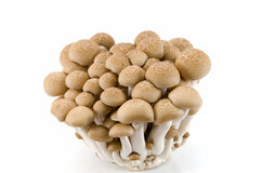Buna Shimeji mushrooms. Stock Images