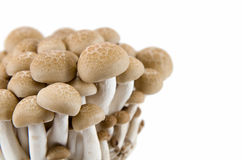 Buna Shimeji mushrooms. Royalty Free Stock Image