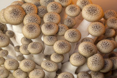 Buna Shimeji Mushrooms Royalty Free Stock Photography