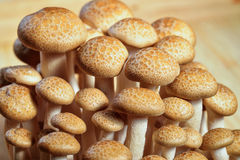 Buna Shimeji mushrooms Royalty Free Stock Image