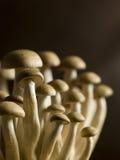 Buna Shimoji, Brown Beech, Mushrooms stock photography