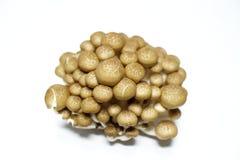 Bunashimeji коричневеет гриб бука в белом #2 Стоковые Фотографии RF