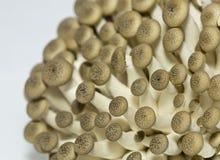 Bunashimeji mushrooms Royalty Free Stock Photos