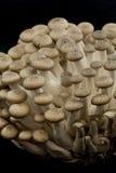 Bunashimeji mushrooms Stock Photo