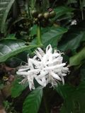 Buncg dei fiori del caffè e dei semi crudi Immagini Stock Libere da Diritti