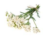 Bunch Achillea millefolium with white flowers. Studio Photo royalty free stock photography
