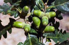 Bunch of acorns. On an oak branch Stock Image