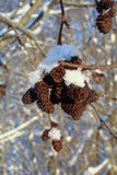 Bunch of alder cones. Covered with ice Stock Images