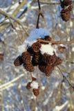 Bunch of alder cones Stock Images