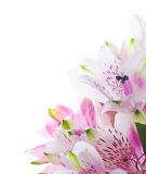 Bunch of alstroemeria flowers Royalty Free Stock Photos