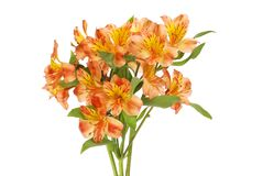 Bunch of alstroemeria flowers. Isolated against white royalty free stock photo