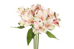Bunch of alstroemeria flowers. Isolated against white Stock Photography