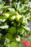 Bunch of apples. On the tree on the sunny day Stock Photos