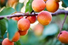 A bunch of apricots on a branch stock photos