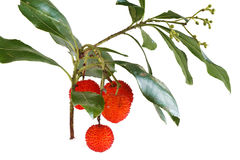 Bunch of arbutus. Bunch of bayberry plant over white background stock photos