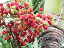 Bunch of Areca catechu or betel nut. Is colorful hanging on tree stock photo