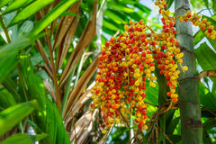 Bunch of Areca catechu fruits Stock Images