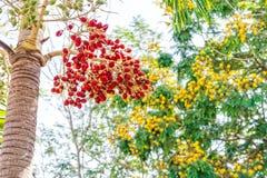 Bunch of Areca catechu fruits Stock Photos