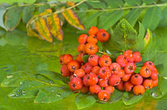 Red rowan berry bunch. On autumn background Royalty Free Stock Images