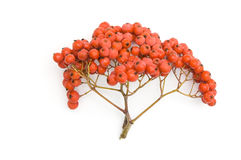 Bunch of ashberry Stock Image