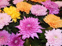 A bunch of asters as a flower background. Stock Photos